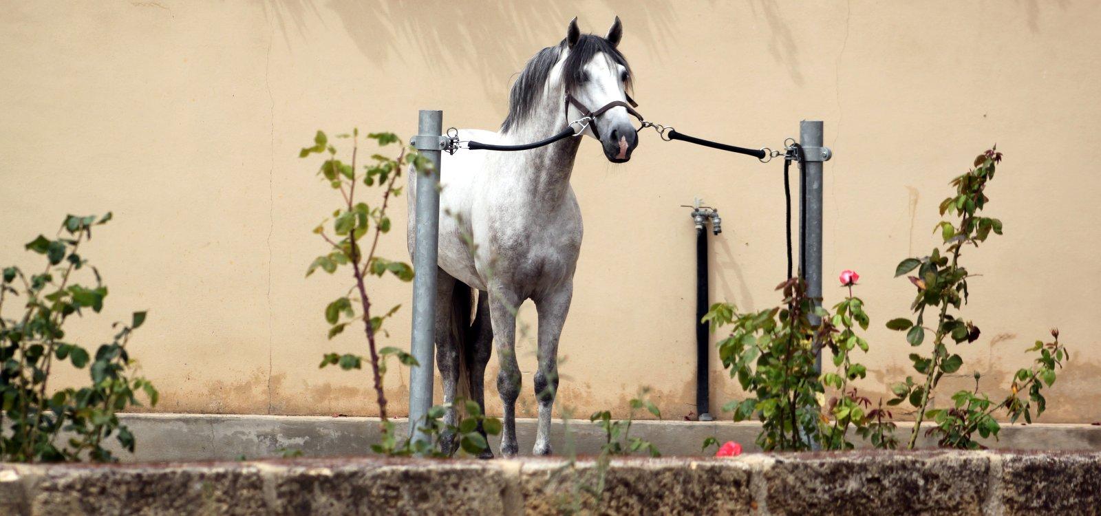 fadista-cheval-dressage-1
